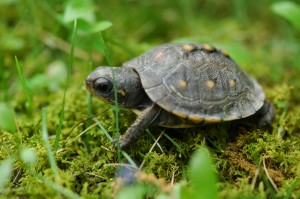 tartaruga-franscisquinha-cronica-manifesto